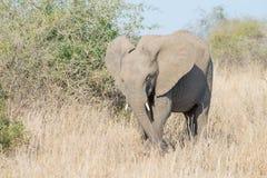 Agressive Elephant Stock Photos