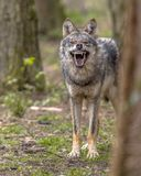 Agressive European grey Wolf. (Canis lupus) growling from behand tree as warning of defense. Vicious teeth are shown to scare off the attacker Stock Photos