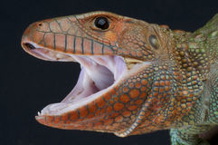 Agressive lizard / Dracaena guianensis Stock Photography