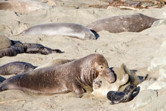 Agressive male elephant seal with female and pup Royalty Free Stock Images