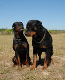 Agressive rottweiler and male. Agressive female rottweiler and her husband in  a field Stock Image