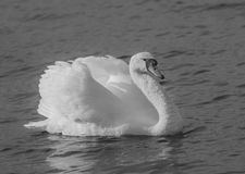 Agressive Swan black and white. Swan swimming in agressive position Stock Photos