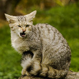 Agressive wild cat Stock Images