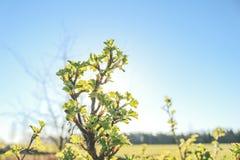 Agrestów liście w świetle słonecznym Obrazy Royalty Free