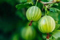 agrest świeża zieleń Narastający Organicznie jagody zbliżenie Na gałąź Obraz Stock