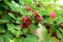 Agrest gałąź z dojrzałymi jagodami w ogródzie Fotografia Royalty Free