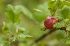 Agrest na krzaku w ogródzie Agrestowa owoc na zieleni Zdjęcia Royalty Free