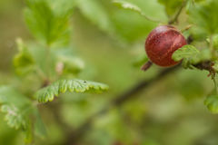 Agrest na krzaku w ogródzie Agrestowa owoc na zieleni Zdjęcie Stock