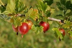 Agrest, owoc na gałąź w sadzie Obrazy Royalty Free