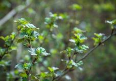 Agrest rozgałęzia się w ogródzie Fotografia Royalty Free