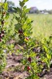 agrest w owocowym ogródzie Fotografia Stock