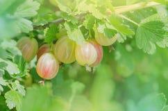 agrest w owocowym ogródzie Obraz Royalty Free