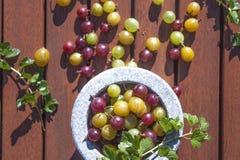 Agresta Ribes uva-crispa Fotografia Stock