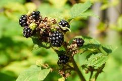 Agrestic blackberries Stock Image