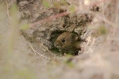 Agrestis de Microtus de campagnol de champ émergeant du trou Image libre de droits