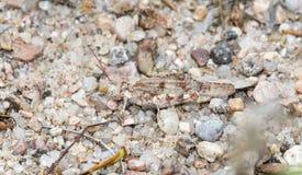 Agrestis dunaires dentés de Trimerotropis de sauterelle camouflés sur Rocky Soil photo libre de droits