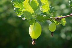 Agrestowa jagoda na gałąź pod liśćmi Obraz Stock