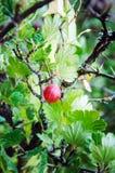 Agrestowa jagoda w lecie w ogródzie obraz stock