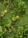 Agrestowa roślina w owoc ogródzie Zdjęcie Stock