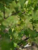 Agrestowa roślina w owoc ogródzie Zdjęcia Royalty Free