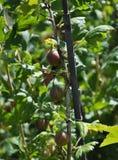 Agrestowa roślina z czerwonymi jagodami w owoc ogródzie Obraz Stock