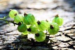 Agrestowy dorośnięcie w wiośnie, jagodowe owoc Obraz Stock