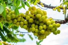 Agrestowy drzewo lub Phyllanthus acidus L Skeels Obraz Royalty Free