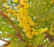 agrestowy kolor żółty Zdjęcie Royalty Free