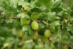 Agrestowy krzak z jagodami i liśćmi Zdjęcia Stock
