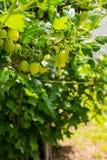 Agrestowy krzak z jagodami i zieleń liśćmi Zdjęcia Royalty Free