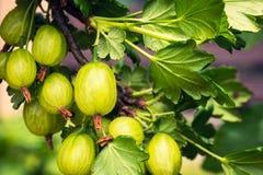 Agrestowy krzak z jagodami i zieleń liśćmi Fotografia Royalty Free