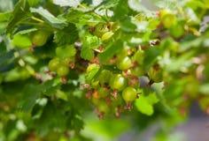 Agrestowy krzak z niedojrzałymi zielonymi jagodami r w ogródzie Zdjęcia Stock