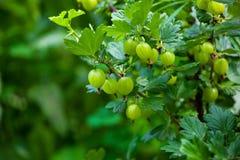 Agrestowy krzak z niedojrzałymi, zielonymi jagodami r w ogródzie w otwartym polu, Obraz Stock