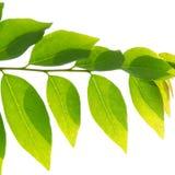 Agrestowy liść. Zdjęcie Stock