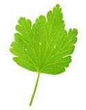 Agrestowy liść odizolowywający na bielu Pełna głębia pole Zdjęcie Stock