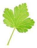 Agrestowy liść odizolowywający na bielu Szczegółowy retusz Zdjęcie Royalty Free