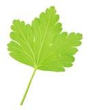 Agrestowy liść odizolowywający na bielu Szczegółowy retusz Obrazy Stock