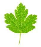 Agrestowy liść odizolowywający na bielu Szczegółowy retusz Zdjęcia Royalty Free