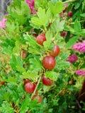 Agrestowy Ribes uva-crispa - owocowy krzak jesień natury fotografii Russia drzewo Obrazy Royalty Free