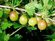 Agrestowy Ribes uva-crispa - owocowy krzak jesień natury fotografii Russia drzewo Obraz Royalty Free