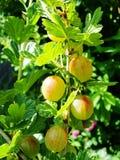 Agrestowy Ribes uva-crispa - owocowy krzak jesień natury fotografii Russia drzewo Obraz Stock