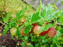 Agrestowy Ribes uva-crispa - owocowy krzak jesień natury fotografii Russia drzewo Zdjęcia Stock