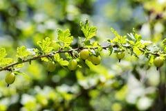 agresty agrus, gałąź z jagodami zielony Agrus, grupa swe Obrazy Stock