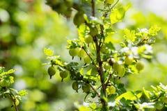 agresty agrus, gałąź z jagodami zielony Agrus, grupa swe Obrazy Royalty Free
