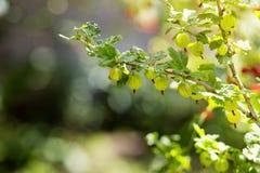 agresty agrus, gałąź z jagodami zielony Agrus, grupa swe Fotografia Royalty Free