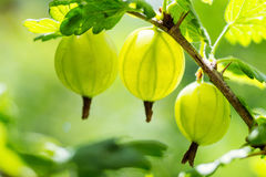 agresty agrus, gałąź z jagodami zielony Agrus, grupa swe Zdjęcie Royalty Free