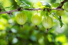 agresty agrus, gałąź z jagodami zielony Agrus, grupa swe Zdjęcia Royalty Free