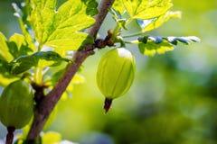agresty agrus, gałąź z jagodami zielony Agrus, grupa swe Zdjęcia Stock