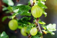 agresty agrus, gałąź z jagodami zielony Agrus, grupa swe Fotografia Stock