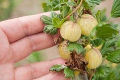 Agresty makro- w ręce w śródpolnym Ribes cri Zdjęcie Stock